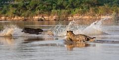 Jaguar (Panthera onca) 5/5 (Jeluba) Tags: 2016 brazil brsil canon jaguar matogrosso pantanal nature wildlife panthersonca hunting mammal flin mammifre animal horizontal