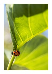 Lady Of The Garden (red stilletto) Tags: oceangrove bellarinepeninsula garden leaf leaves ladybug macro