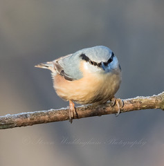 Nuthatch (steven waddingham) Tags: bird wild song british wood tree