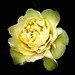 Yellow Rose - Taymaz Valley