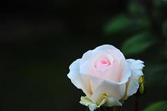 LifE is... (sifis) Tags: life art rose nikon greece 28300 sakalak d700 σακαλακ