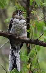 Elegant Trogon (Christopher Lindsey) Tags: arizona birds nogales birding immature eleganttrogon penablanca rubyroad copperytailed penablancacanyon