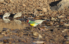 Gouldian Finch (Ben GARCIN) Tags: park bird colors amazing top katherine australia darwin falls finch national end billabong edith rare gouldian