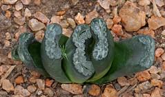 Haworthia 10 (scenescape-partners) Tags: cactus india plant succulent aloe nursery lithops euphorbia variegated agave haworthia cycas rare sansevieria gasteria zamia jatropha scenescape caudiciform monstrose encphalartos
