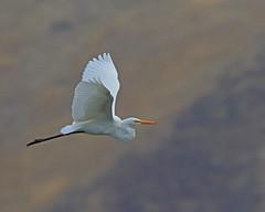 Great Egret (Keith Carlson) Tags: waders greategret bif egrets ardeaalba