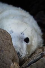 Hidden behind a rock (greenzowie) Tags: nature animal mammal grey wildlife september seal pup 2015 greenzowie