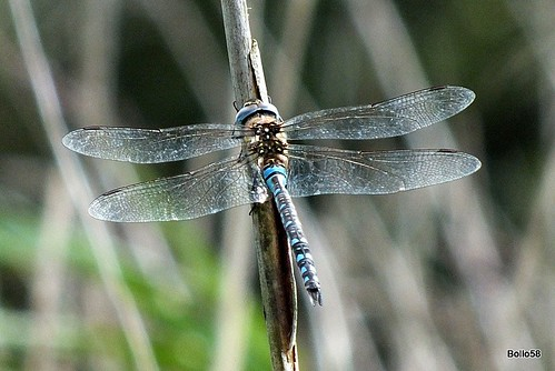 Possible Migrant Hawker Dragonfly - Le Grande Pre Nature Reserve, Guernsey 15-09-2015 13-21-45
