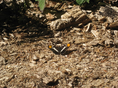 Butterfly at Flora Dell Creek