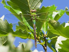 Common Green Darner (Anax junius) (monon738) Tags: macro nature closeup bug insect wings pentax dragonfly wildlife indiana 300mm odonata aeshnidae anax allencounty commongreendarner anaxjunius greendarnerdragonfly darnerdragonfly smcpda300mmf40edifsdm cypressmeadownaturepreserve k5iis