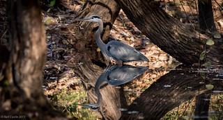 Grey Heron - 9122.jpg