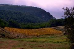 Vinyes de Tardor, Pontons, Alt Penedès. (Angela Llop) Tags: fall spain wine catalonia vineyards penedes