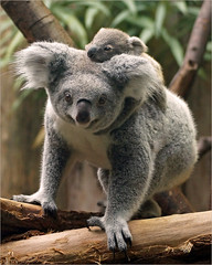 Mama koala with joey on her back (Foto Martien) Tags: baby tree colo germany deutschland zoo joey sony mother victoria boom koala info eucalyptus marsupial information moeder kangaroos description nordrheinwestfalen motherandchild duitsland possums a77 dierentuin dierenpark koalabear wallabies opossums northrhinewestphalia monkeybear wallaroos wombats zooduisburg largepaws karbor colah easternaustralia eyrepeninsula phascolarctoscinereus phascolarctidae moederenkind nativebear buideldier treebear bangaroo aschgrauerbeutelbr koalabeer martienuiterweerd buidelbeer fotomartien flickrbronzetrophygroup southeasternqueensland koolawong coolbun sonyslta77v sonyalpha77 geotaggedwithgps boorabee tamron70300mmf456sp easternnewsouthwales southeasternsouthaustralia strongclaws fascolarto oostaustrali banjorah burrenbong newhollandsloth cullawine burroor pucawan newbornkaola jongekoala