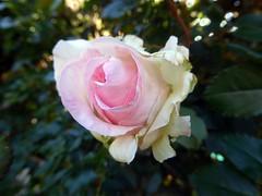 Rose di Novembre (fotomie2009) Tags: flower rose de flora pierre rosa fiore ronsard pierrederonsard