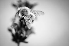 Flausch (ChristinaWieck) Tags: summ tier herbst schwarzweiss flgel blte