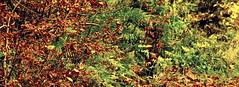 Illusive Animals - Fox (Henrik Bidstrup Jrgensen) Tags: wood red wild animals denmark autum forrest decay olympus hidden fox e510 illusive efterr rv skjult gemt olympuse510 illusiveanimals findmig