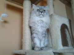 Persian cat  in her scratching post (romeosilverpersian) Tags: cats persiancats scratchingpost silvertabby longhaircats tiragraffi silvershaded silvercats catbreed gattipersiani gattigrigi chinchillacats gattichinchilla gattiargentati