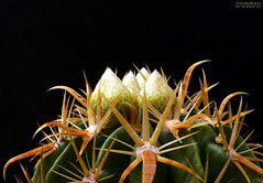 Ferocactus Latispinus var flavispinus 2 (Nyxtofulakas) Tags: cactus nature spines ferocactus latispinus flavispinus