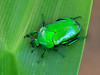 Flower chafer (Ischiopsopha wallacei) (Graham Winterflood) Tags: scarab flowerchafer canoneos6d ischiopsophawallacei taxonomy:binomial=ischiopsophawallacei