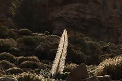 auch verblht schn (im_fluss) Tags: plant spain hiking pflanze tenerife teneriffa wandern spanien natternkopf indencanadas