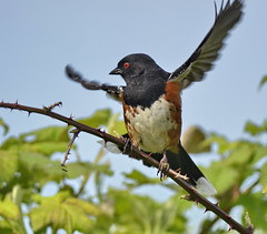 Spotted Towhee (glenbodie) Tags: glen bodie glenbodie dncb serpentine 201417 spotted towhee