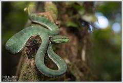 Trimeresurus fucatus (Thor Hakonsen) Tags: trimeresurusfucatus bandedpitviper khaoluangnationalpark viper viperidae crotalinae pitviper hoggorm snake reptile thailand