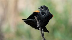 Red-winged blackbird shaking off - Explored Oct 16, 2016 (Chris Lue Shing) Tags: nikond7100 tamronsp150600mmf563divcusd bird aurora newmarket nokiidaatrail mckenziemarsh tree fall autumn nature ontario canada redwingedblackbird rwbb chrislueshing