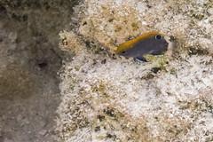 Indische Demoiselle (astroaxel) Tags: malediven athuruga diamonds resort unterwasser schorcheln indische demoiselle