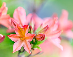Glory (grantg59@xtra.co.nz) Tags: glory azalea tree plant flower bloom pink red blossom bokeh dof