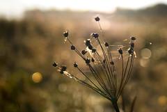webbed weed (marianna_a.) Tags: weed web bokeh wednesday hbw marianna armata