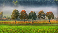 October glance (RainerSchuetz) Tags: geo:lat=5160624333 geo:lon=893420167 geotagged autumn fall mist fog trees sheep herbst nebelschwaden