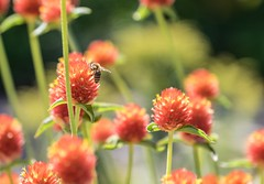 Bee (pmenge) Tags: denver co botanicgarden flores flowers abelha bee 18135 xt1