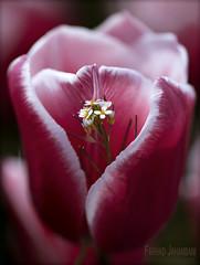 Tulips 52 (FarhadFarhad .(Farhad Jahanbani)) Tags: skagit valley tulip festival tulips flowers seattle washington state canon ef100mm f28l macro is usm