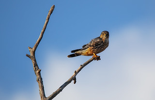 Merlin - Conference House Park, Staten Island, New York