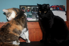 Patches Calico & Noah photo of the day 10/11/2016 (Patches Madison) Tags: patchescalico noah black cat cute sweet adorable handsome