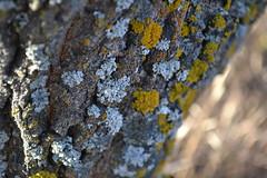Wanuskewin fall 2 (Kristin Marie Enns-Kavanagh) Tags: saskatchewan photos photography nature sun autumn fall saskatoon wanuskewin tree bark lichen grass golden