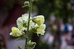 Hollyhock (Infomastern) Tags: ystad blomma flower hollyhock stockros