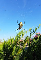 you don't have to say I love you (MadMadelyne) Tags: spiderweb spider argiope phonephotography nature admire observation love sky green bluesky yellow indianadays daysofoctober midwest naturalist outdoor