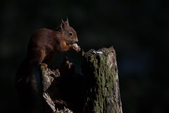 Red squirrel ~ Brownsea (ToriAndrewsPhotography) Tags: red squirrel dorset brownsea island photography andrews tori
