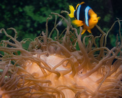 SEA Life Sydney Aquarium (Merrillie) Tags: darlingharbour tropicalfish seaanemone aquarium fish sealife water touristattraction sydney fauna darling animal