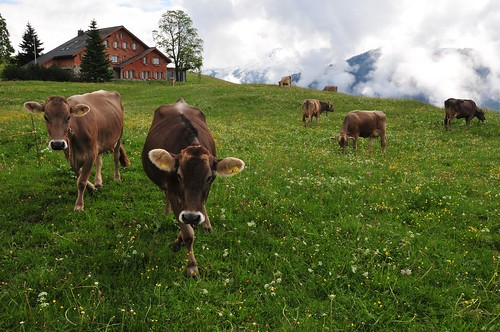 Braunwald landscape with cows