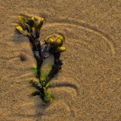 Spuren (efgepe) Tags: cadzand holland niederlande oktober macro sigma sigma70mm28dgmacro sigma70mm makro pflanzen plants see tang blasentang strand sand cadzandstrand square