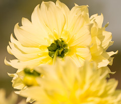Dahlie  (5) (berndtolksdorf1) Tags: dahlie blume blte gelb yellow blossom flower gardenflower gartenblume outdoor