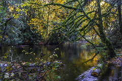 Goldstream (Insomnious247) Tags: goldstreampark goldstream autumnleaves leaves stream water reflection reflections moss