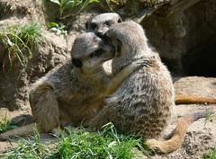 Zoo Ffm Erdmnnchen (Suricata suricatta) P1020139 (martinfritzlar) Tags: zoo frankfurt tier sugetier raubtier manguste erdmnnchen herpestidae suricata suricatta meerkat