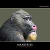 MANDRILL (Matthias Besant) Tags: animal animals tier tiere farbenpraechtig mammal saeugetier bunt colorsense colorful coloursense colourful farbenfreudig farbenfroh farbenpracht farbenreich farbenreichtum farbensinn affen monkey affe mammalia mammals zoo monkeys primat primaten pavian tiergehege tierpark pavianartige primate backentaschenaffen singe backenfurchenpavian mandrill mandrillussphinx oldworldmonkey monkies zoohaltung backenfurchenpaviane mandrille mandrillus deutschland säugetier