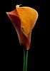 Calla lily no.2 (Funchye) Tags: 60mm d610 nikon flower blomst callalily calla