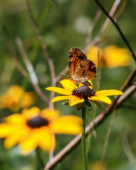 Phyciodes tharos (pearl crescent) on Rudbeckia fulgida (black-eyed Susan) (tgpotterfield) Tags: mtcuba newcastlecountyde mtcubacenter rudbeckiafulgida rudbeckia heliantheae helianthodae asteroideae asteraceae blackeyedsusan phyciodestharos phyciodes nymphalidae lepidoptera insects pearlcrescent hockessin delaware usa