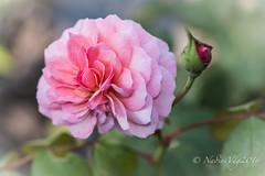 De laatste roos..... is voor mij (NadineVdg) Tags: rose pink bej