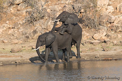 38-South_Africa-2016 (Beverly Houwing) Tags: africa drink elephant krugerpark phalaborwha southafrica wateringhole play scuffle wrestle