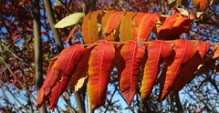 Sumac leaves, Gibson, PA (Martin LaBar) Tags: sumac anacardiaceae rhus leaves autumn fall otoo pennsylvania